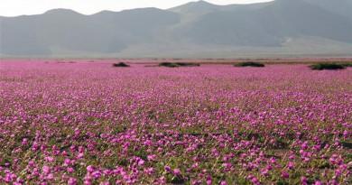 El desierto de Atacama, alfombrado de flores tras un récord de lluvia