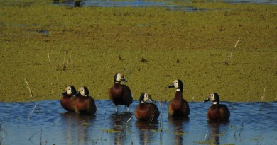Buscamos Voluntarios para el Censo Neotropical de Aves Acuáticas