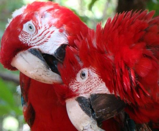 Papagayos rojos, Ogarenda