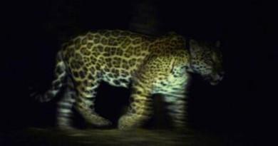 38.jaguar