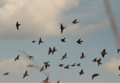Avistamiento del Charlatán en sitio piloto de Arroz Amigo de las Aves