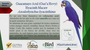 Campaña de Identificación de guacamayos_2