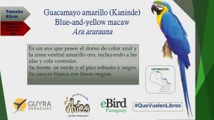 Campaña de Identificación de guacamayos_3