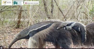 Jurumi - Oso Hormigero con cría - Myrmecophaga tridactyla - Tobich